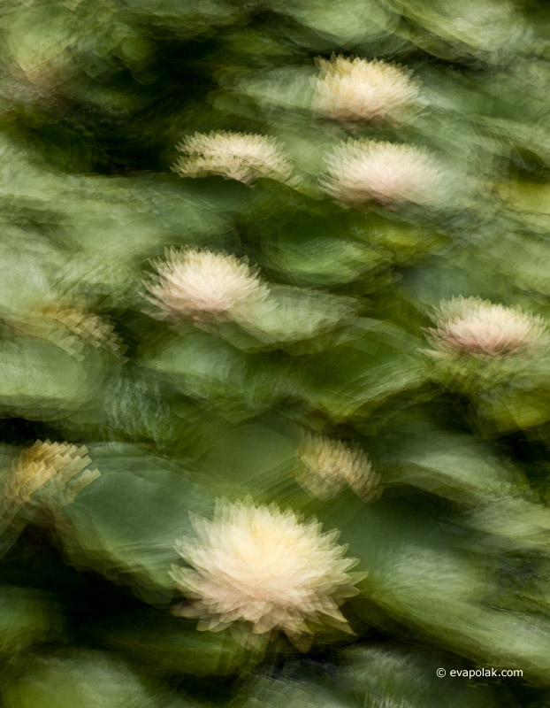 water-lilies impressionist photograph
