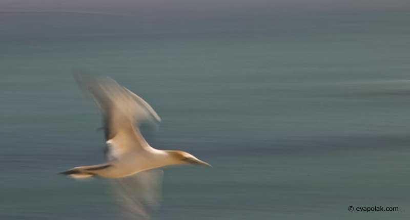 gannet-by-eva-polak