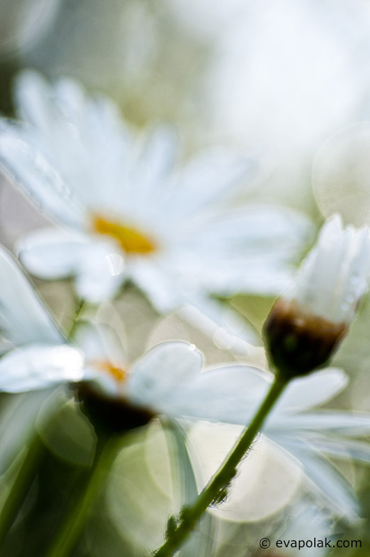 Daisy by Eva Polak